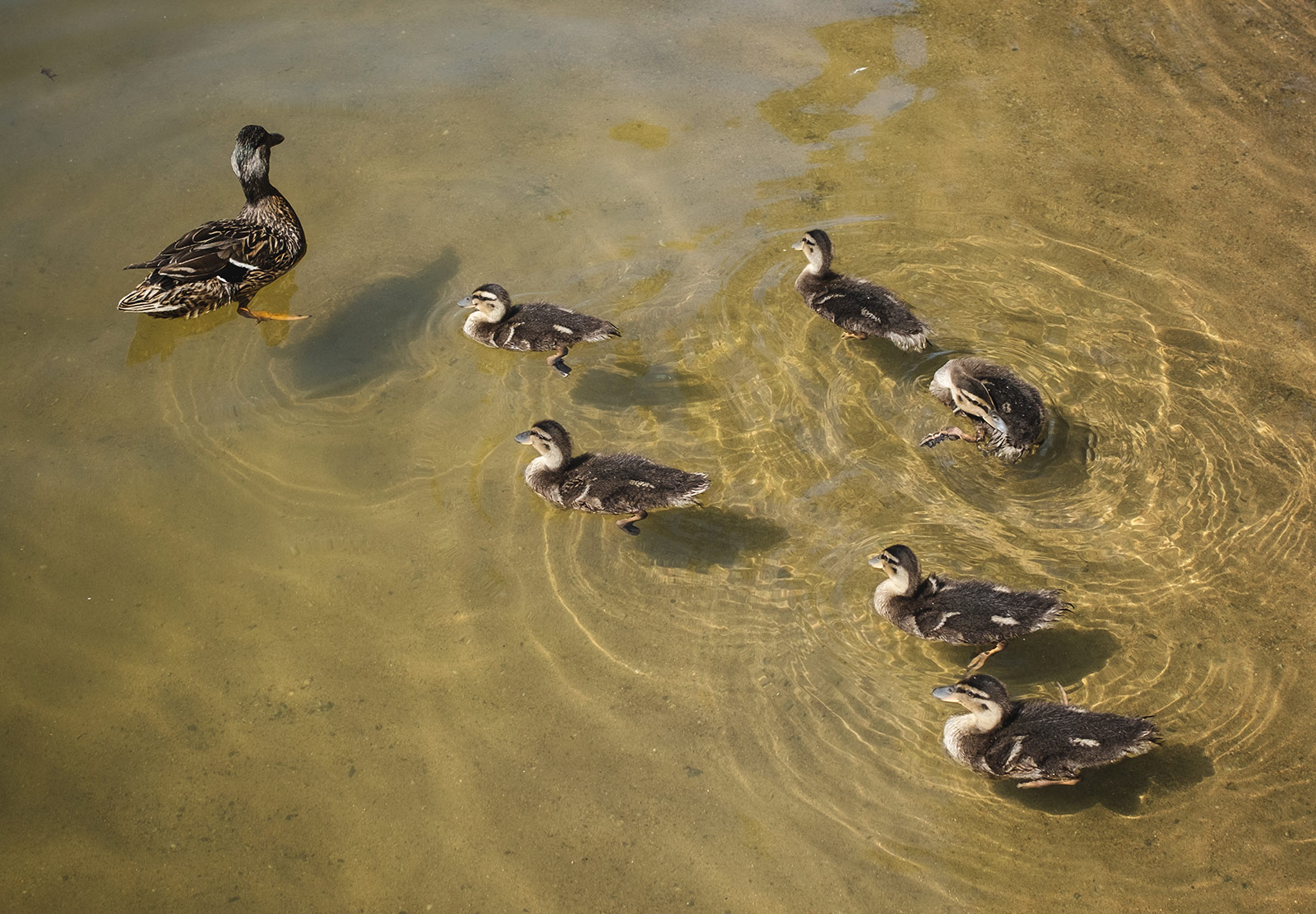 Swimming ducklings