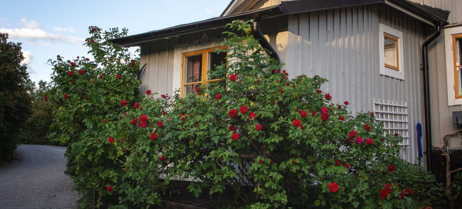 Roses on wooden house