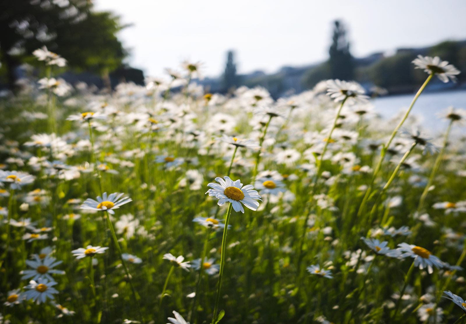 Group of oxeye daisies