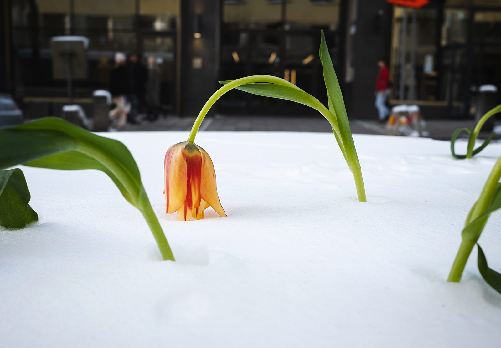 Orange tulip in the snow