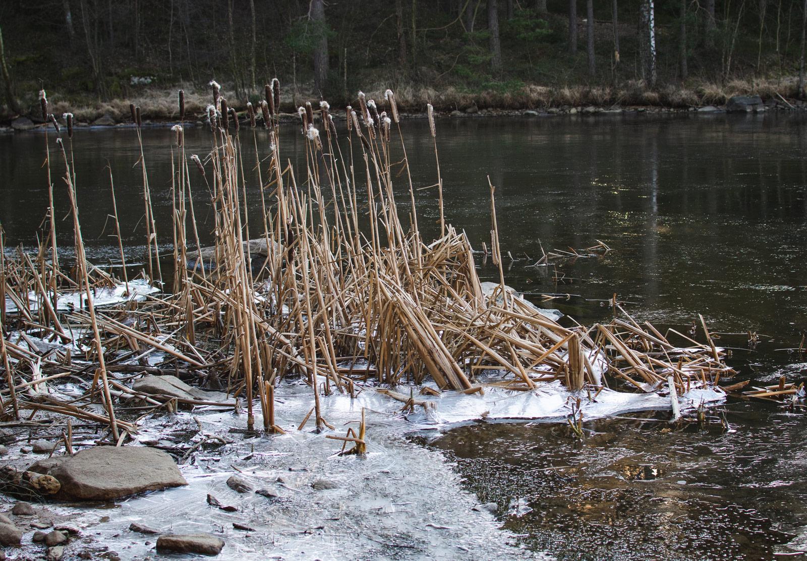 Frozen reeds