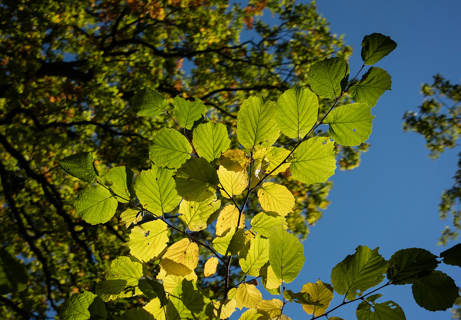 Leaves turning yellow
