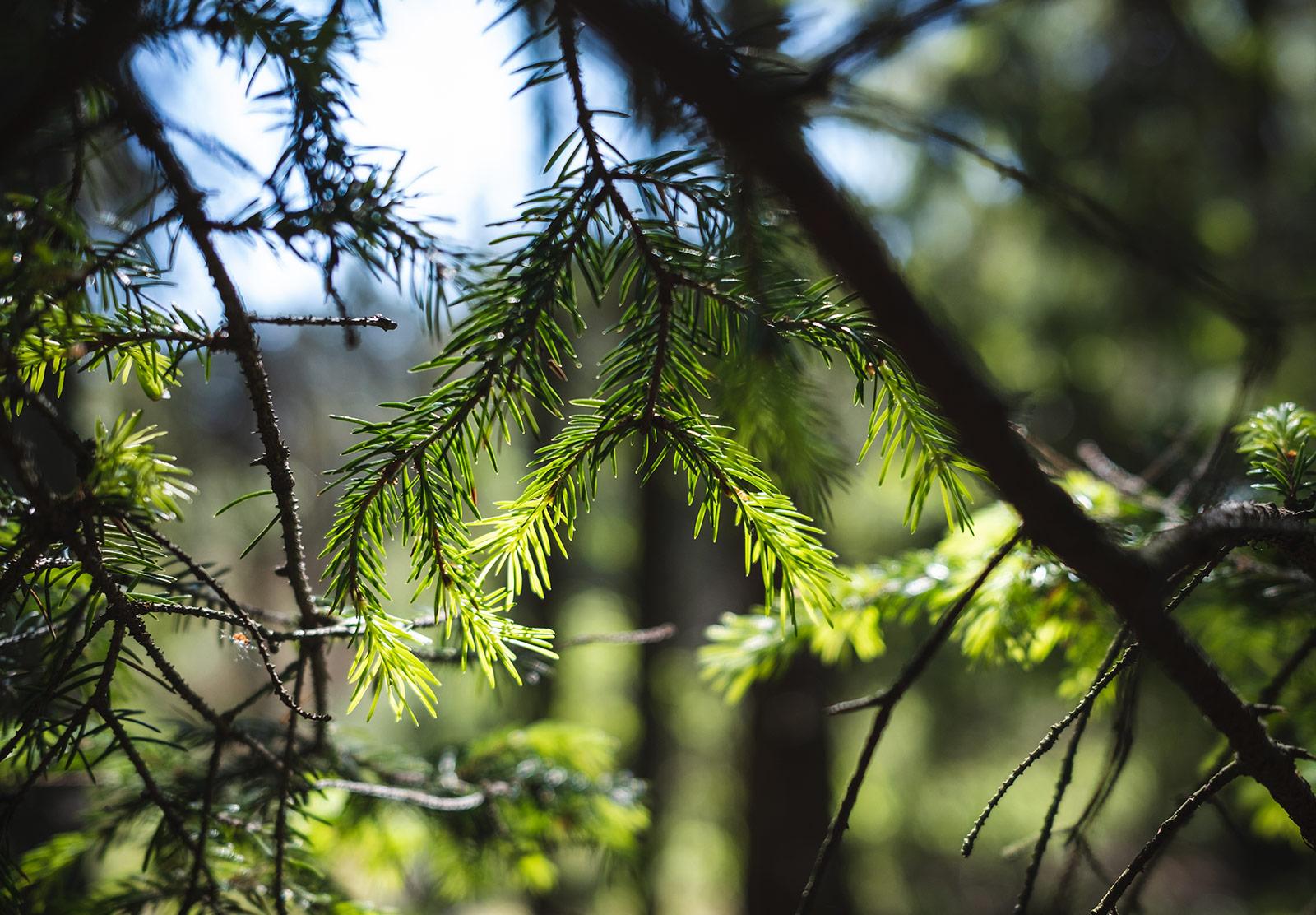 Spruce in the sun