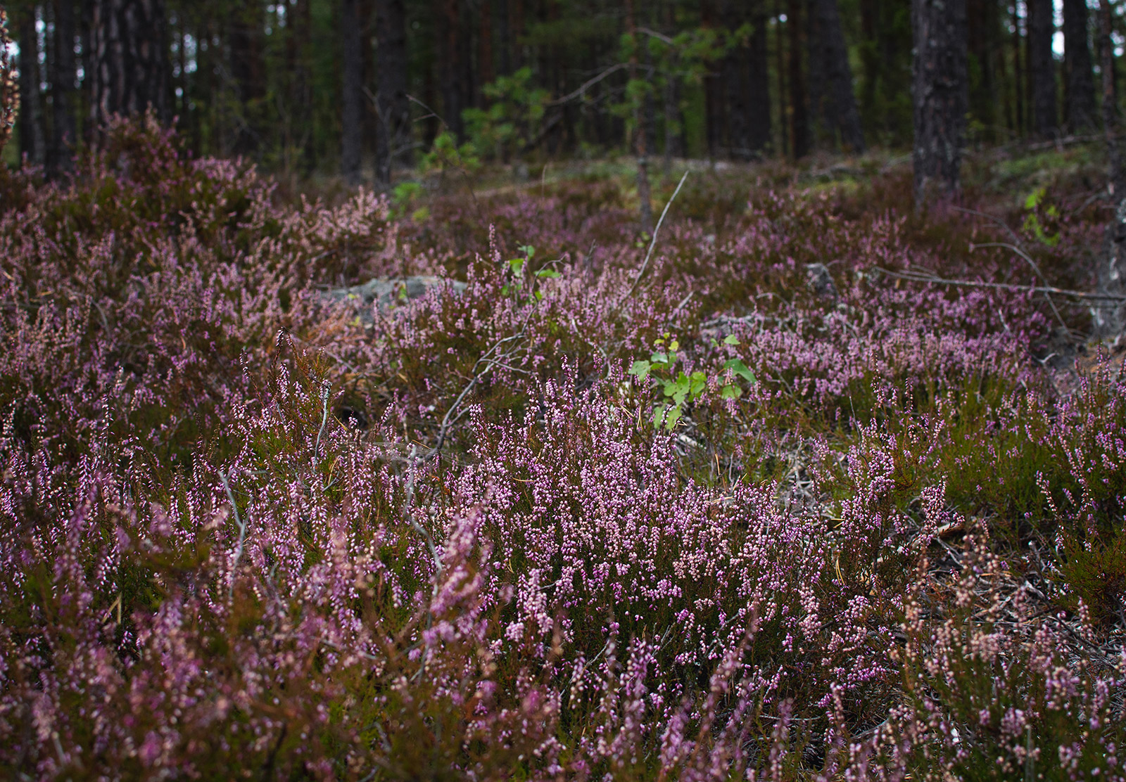 Swathes of pink heather