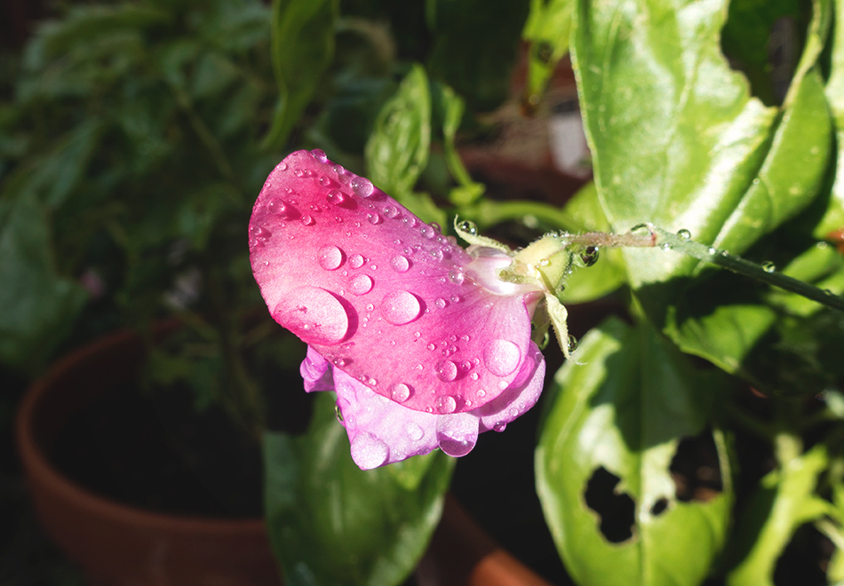 Raindrops on sweet pea flower