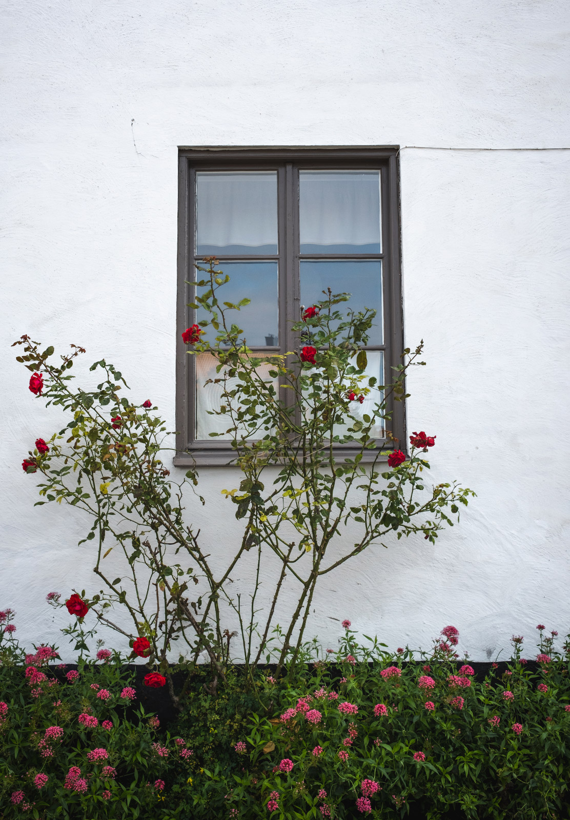 Red roses against window
