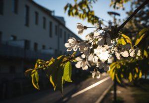 White blossom in the sun