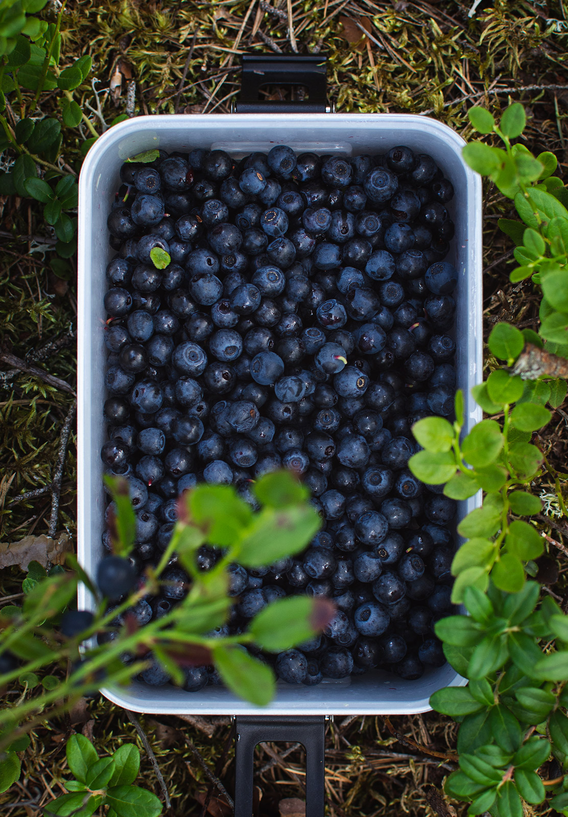 Pot of blueberries