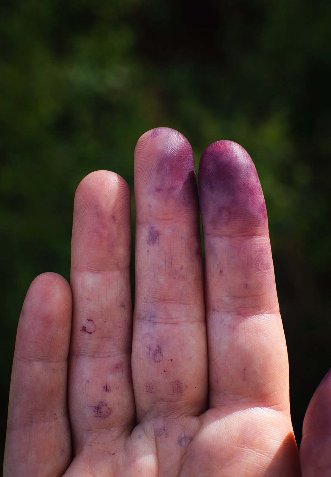 Purple stains on fingers