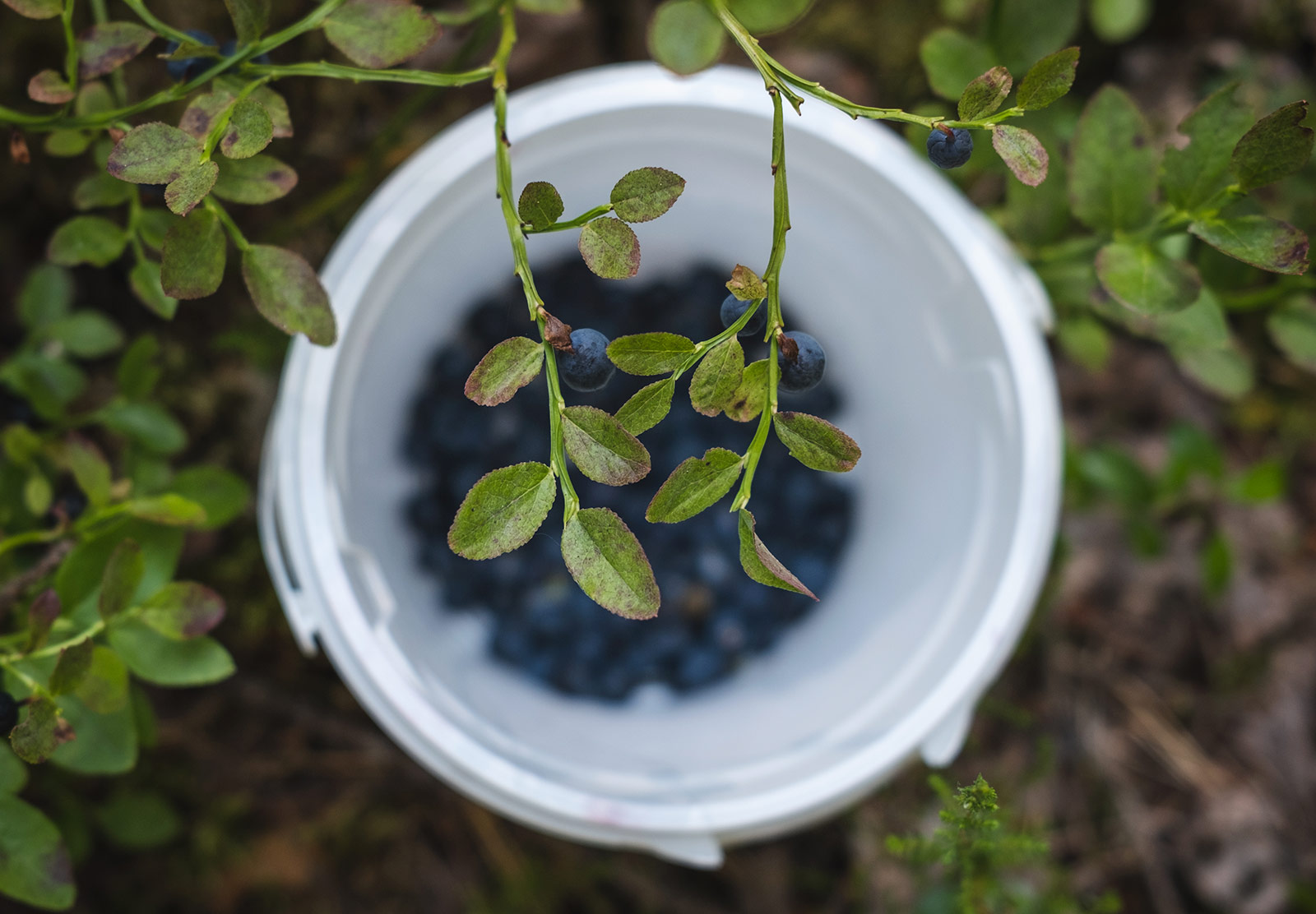 Closeup of leaves and berries